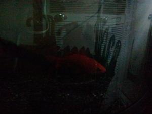 金魚は1日中暗い中で...