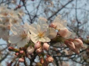 近所の街路樹の桜です。