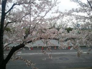 自宅のベランダ側に植わっている桜です。