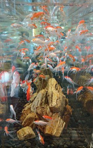 日本橋の金魚