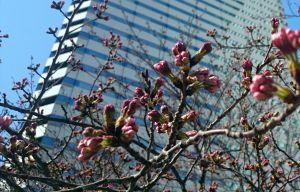 近所の桜、咲きましたぁ