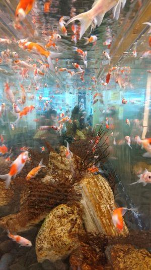 日本橋の金魚、再び