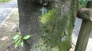 サクラの木の地衣類 2