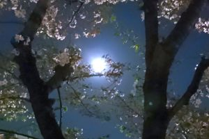サクラと月