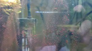 水槽掃除とクモヒトデ