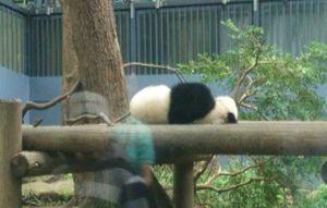 動く初パンダ